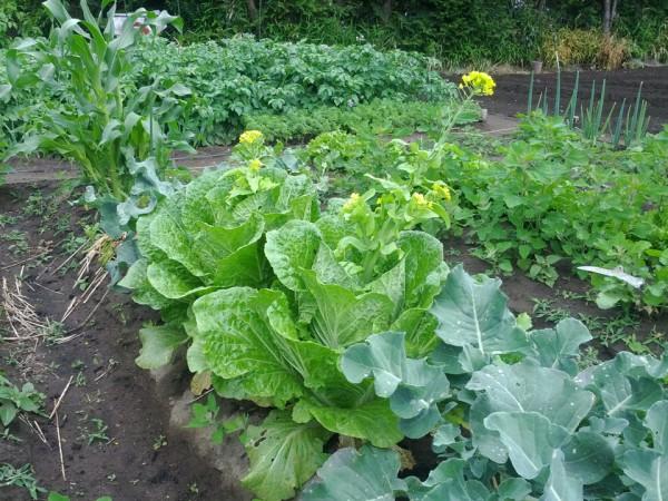 白菜とトウモロコシ