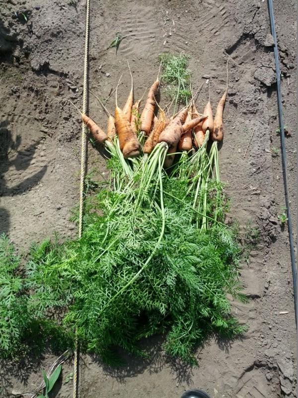人参収穫-20120717