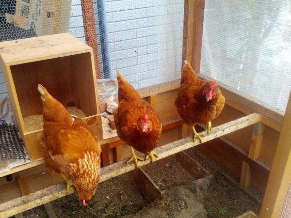 ニワトリ(鶏)整列