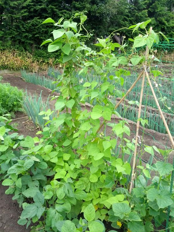 インゲンの成長と竹の長さ-7月