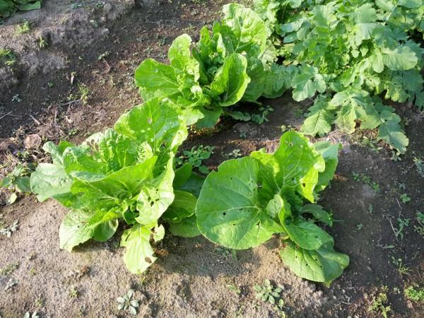 白菜2-20121026