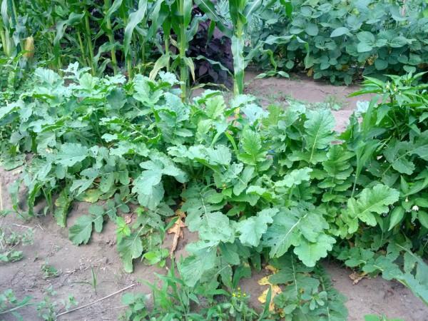 大根は収穫期-20120730