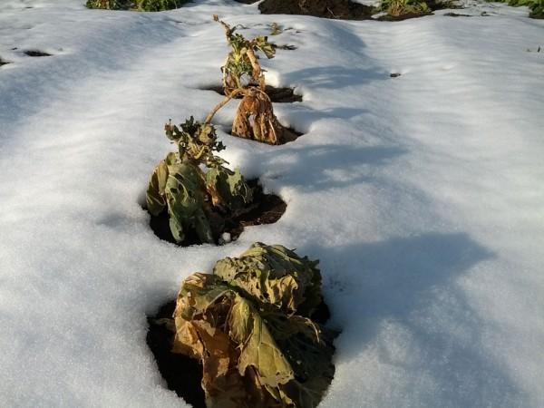 冬の畑2-20130131