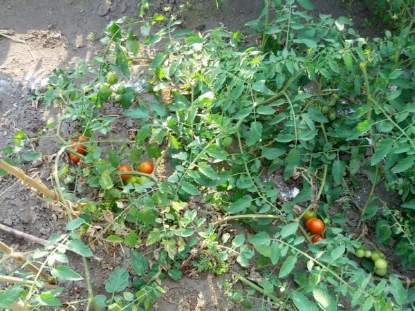 剪定したトマト-20120827