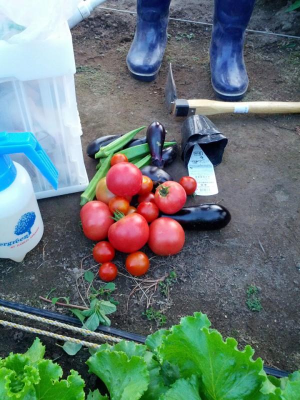 野菜収穫-20120815