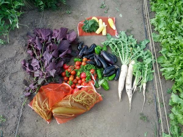 野菜収穫-20120806