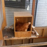 ある日ニワトリが巣箱に入っていた