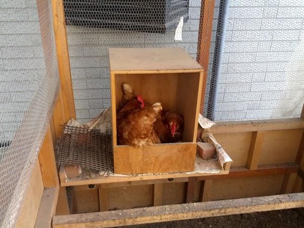 2羽のニワトリが産卵箱にいました
