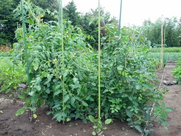 トマトがさらに大きく成長した-7月