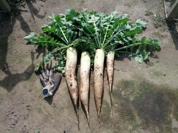 大根収穫-20120717