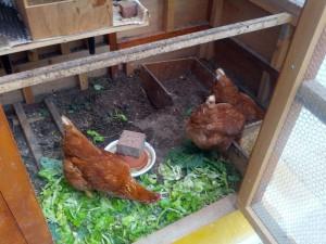 レタスを食べるニワトリ(鶏)