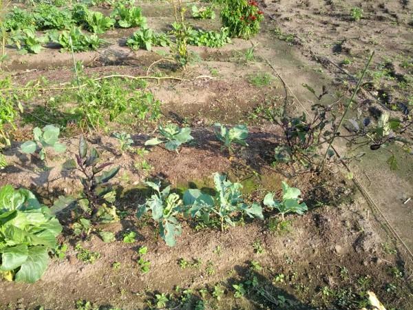 秋に植えた野菜-20121026