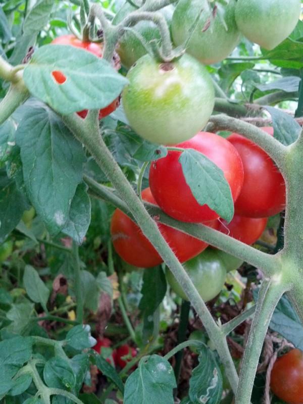いたる所にトマト-20120811