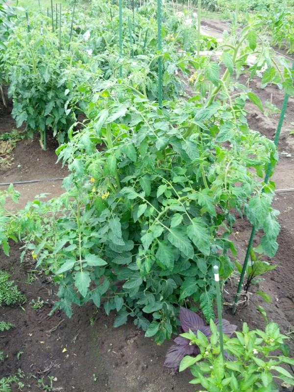 トマトが大きく成長した-7月