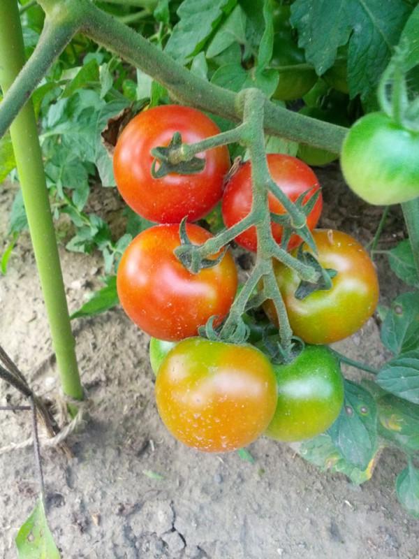 食べきれないトマト-20120730
