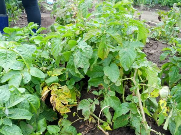 ジャガイモはそろそろ収穫時-7月