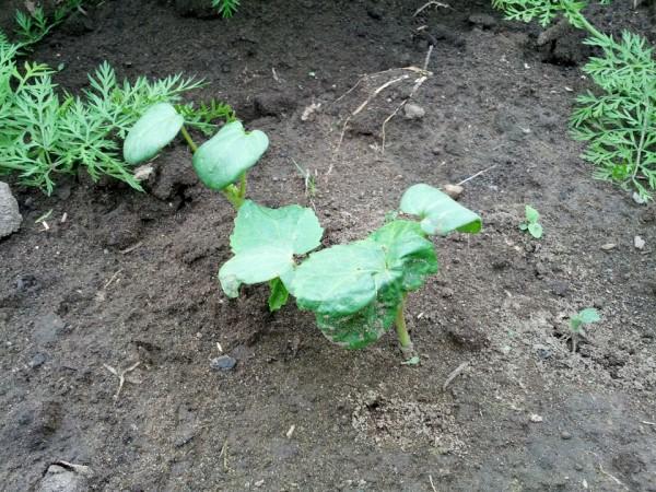 オクラがやっと芽を出し始めた-7月
