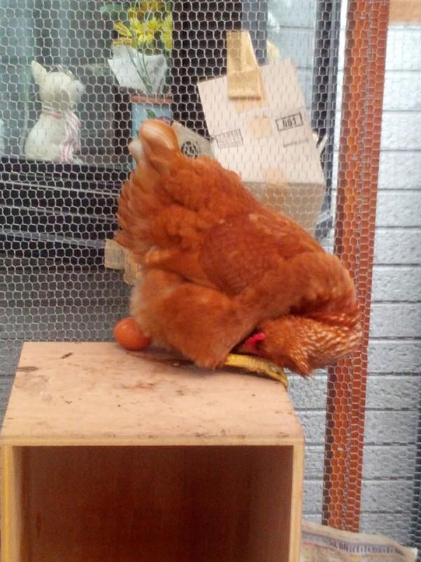 ニワトリの産卵3 産んだ卵が気になっています
