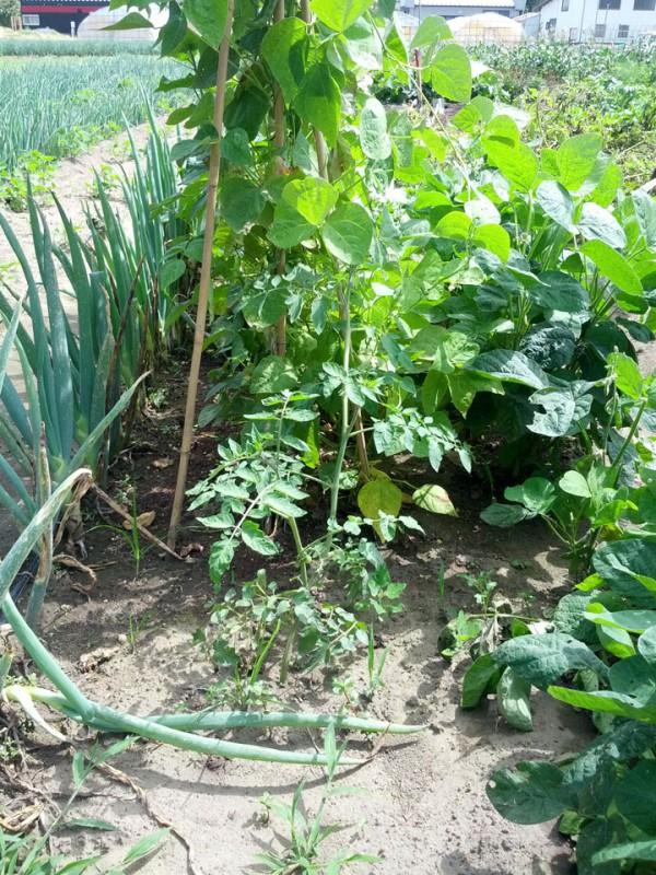 トマトの剪定した苗が成長-7月