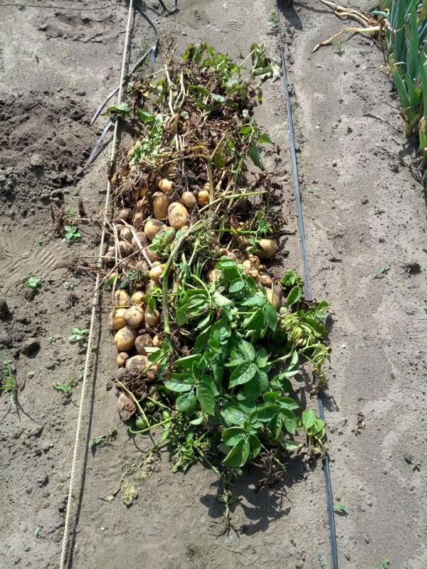 ジャガイモ収穫-20120717