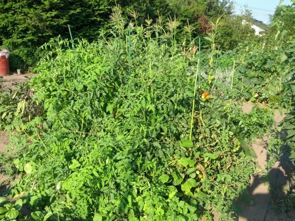 繁栄を極めているトマト-2012