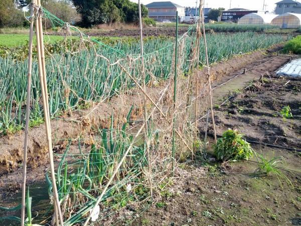 キュウリ収穫後-20121026
