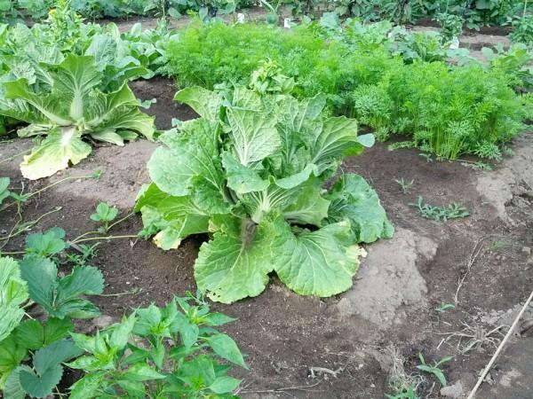 白菜は全て収穫