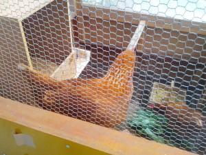 金網越しのニワトリ(鶏)