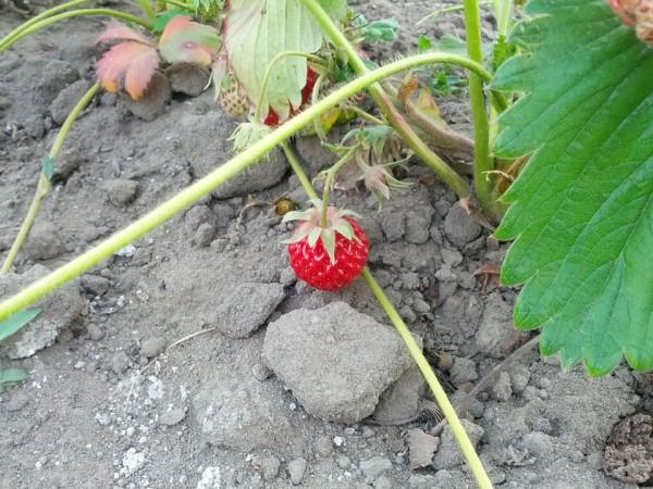 赤い色鮮やかなイチゴ
