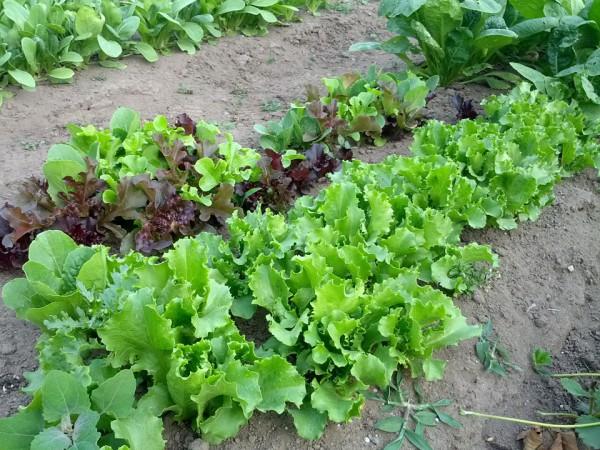 レタスを収穫