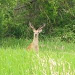 近所の山で鹿と遭遇