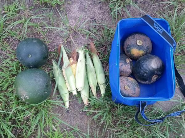 スイカ&とうもろこし&かぼちゃの収穫