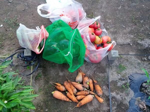 トマト&人参&キュウリ&ピーマンの収穫