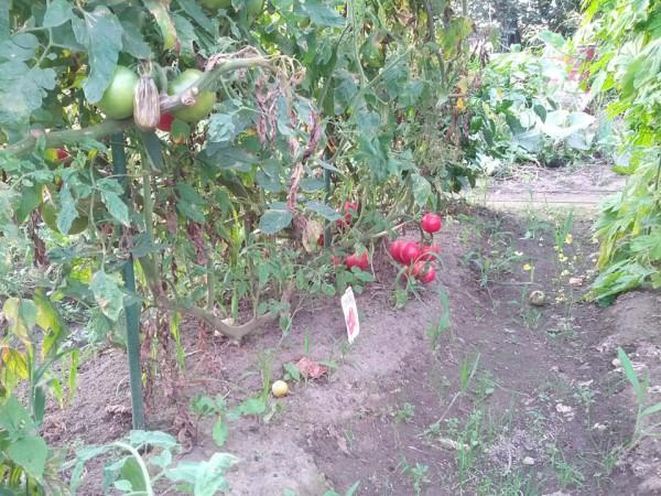 トマトの苗はそれなり