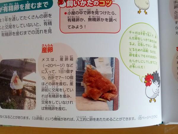 家のニワトリの産卵写真