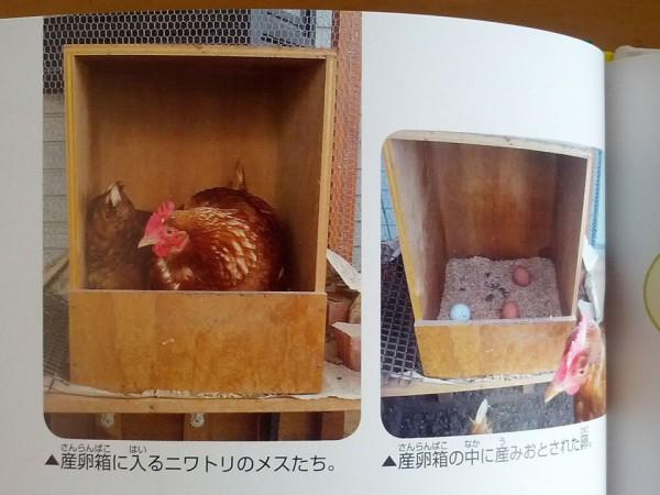 産卵箱に入っているニワトリと産んだ卵