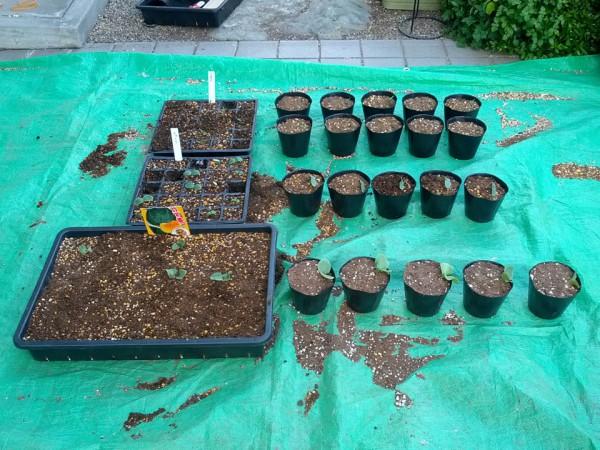 5月17日 トマト・キュウリ・かぼちゃの鉢上げ完了 18日目