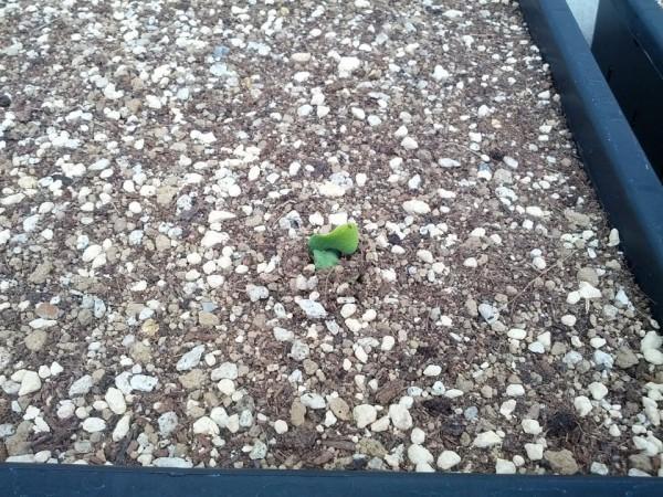 5月12日 カボチャの種が初めて発芽 13日目