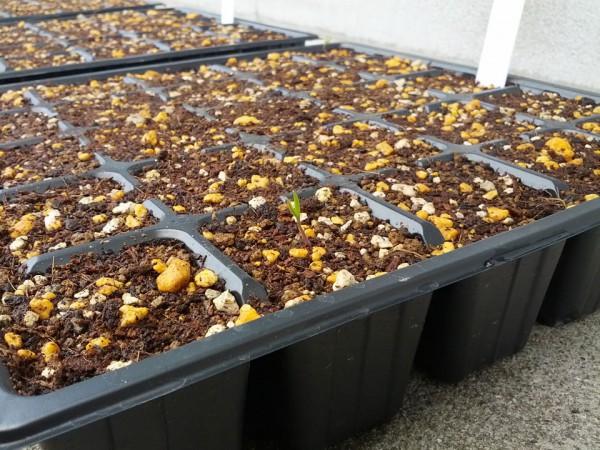 5月10日トマトの種が初めて発芽 11日目