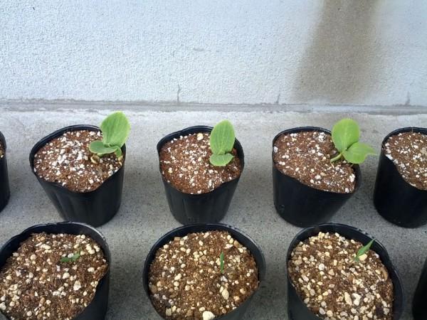 5月19日 かぼちゃの苗が起き上がってきた 20日目