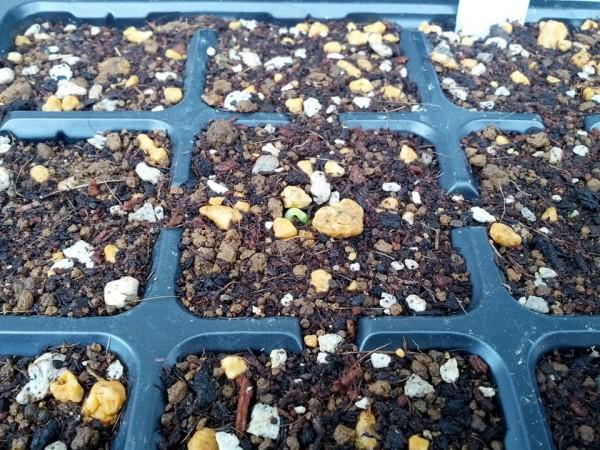 5月10日 キュウリの種が初めて発芽 11日目